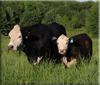 Світове споживання яловичини зросте на 11% до 2026 року