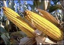 Глобальный спрос на кукурузу вырастет на 25% к 2026 году