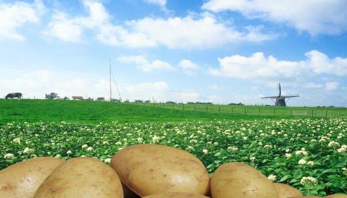 Рынок картофеля ЕС